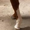 Audubon Wood front legs left side close up